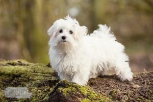 Hondenfotograaf-Heemstede-Maltezer-pup-1