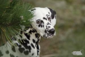 Hondenfotograaf-Wassenaar-Beloved-Dier-en-Baasje-fotoshoot-Dalmatiër-Loulou-11