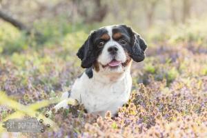 Hondenfotograaf-Wassenaar-Cavalier-King-Charles-Spaniel-Pepper-1