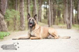 Hondenfotograaf-Wassenaar-Mechelse-Herder-2