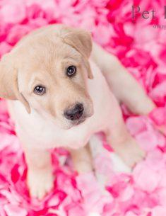 Hondenfotograaf Hillegom - Valentijnsfoto's van mijn twee Labradors