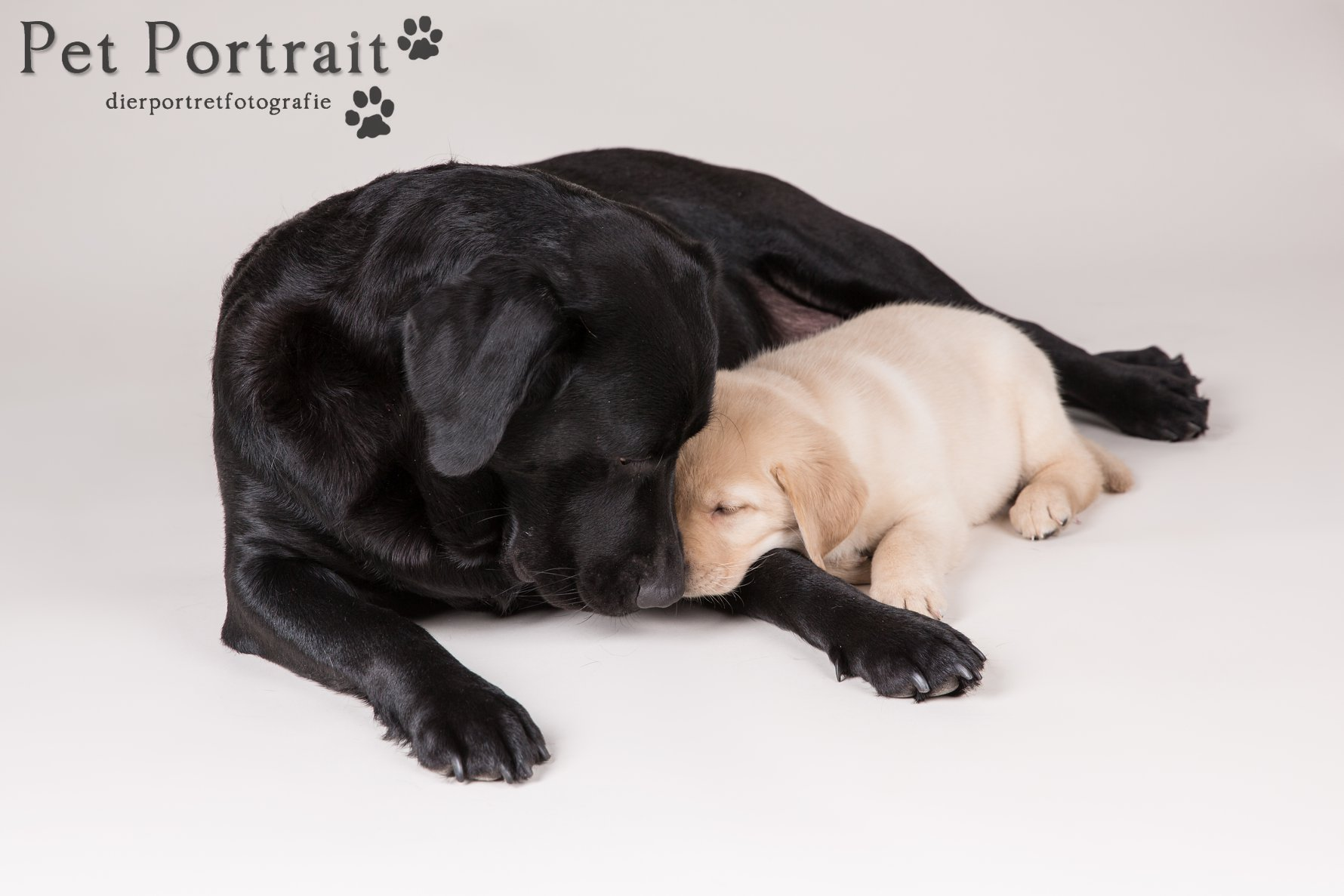 Hondenfotograaf Hillegom - Nestfotoshoot Labrador retriever pups geel en zwart-1