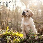 Hondenfotograaf Leiden - Labrador retriever pup Freyja