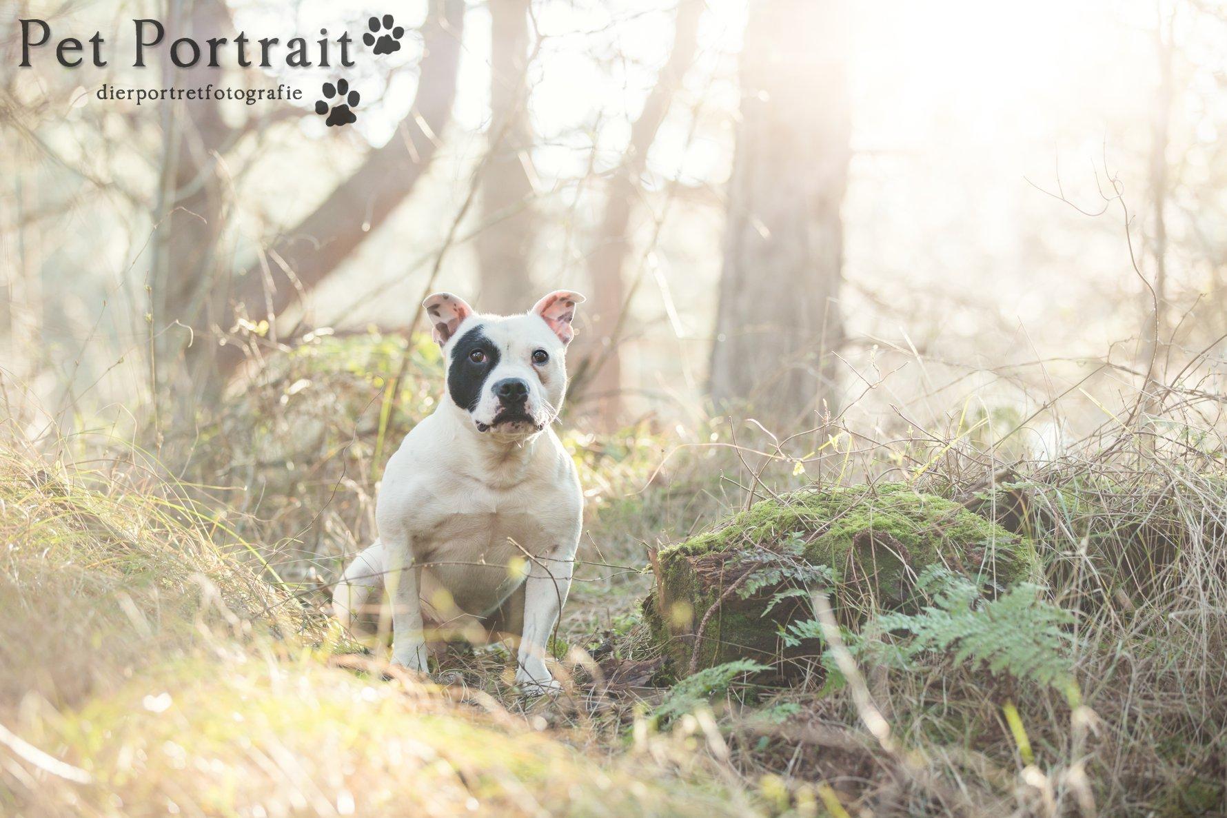 Hondenfotograaf Wassenaar - Staffordshire Bull Terriër Sjef