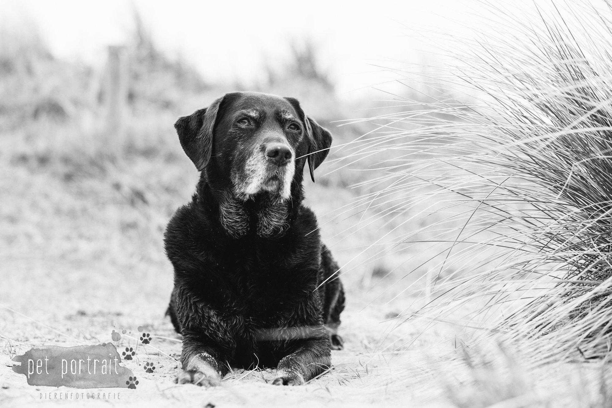 Hondenfotograaf Wassenaar - Labrador Apple-11