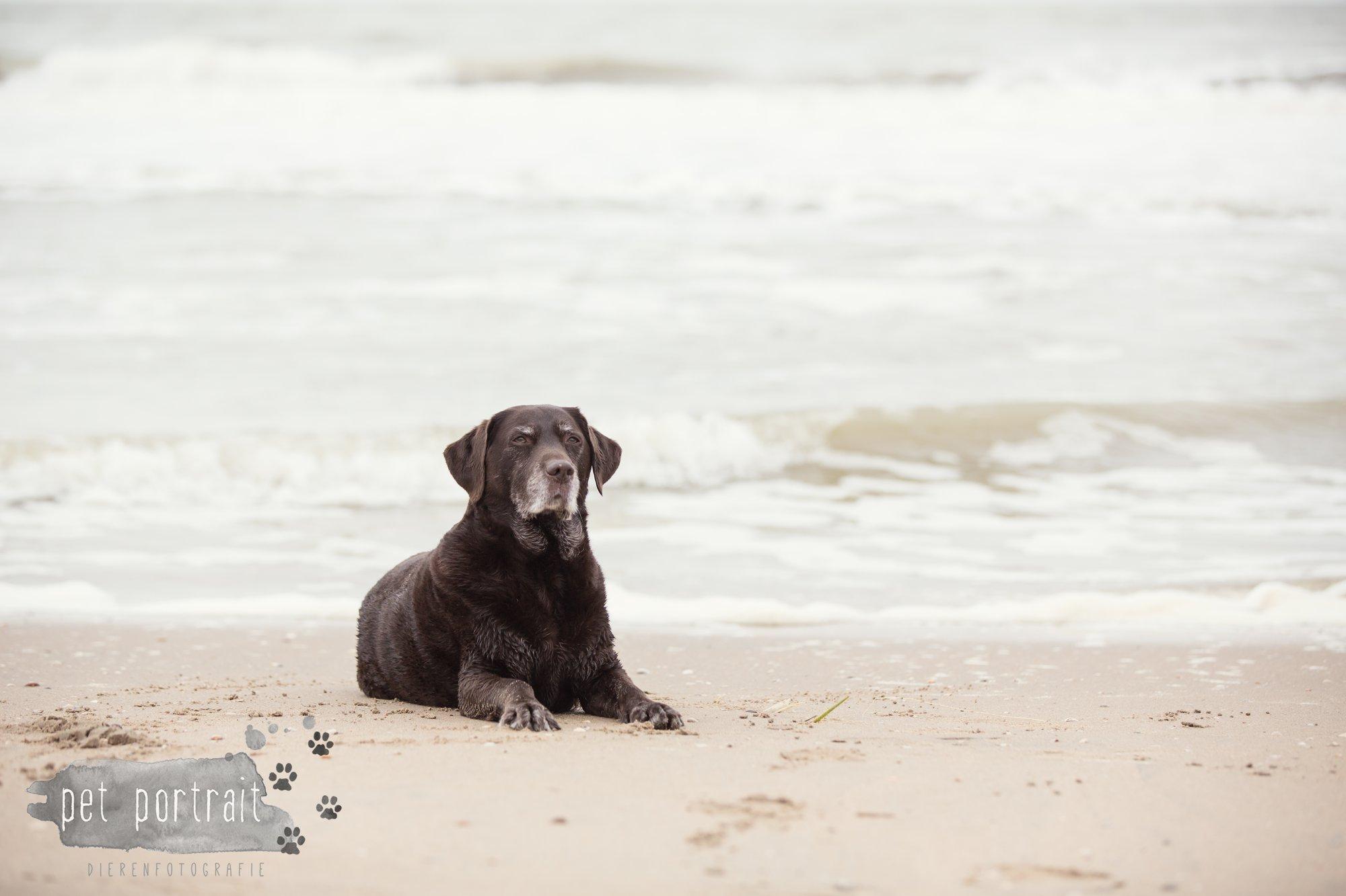 Hondenfotograaf Wassenaar - Labrador Apple-14