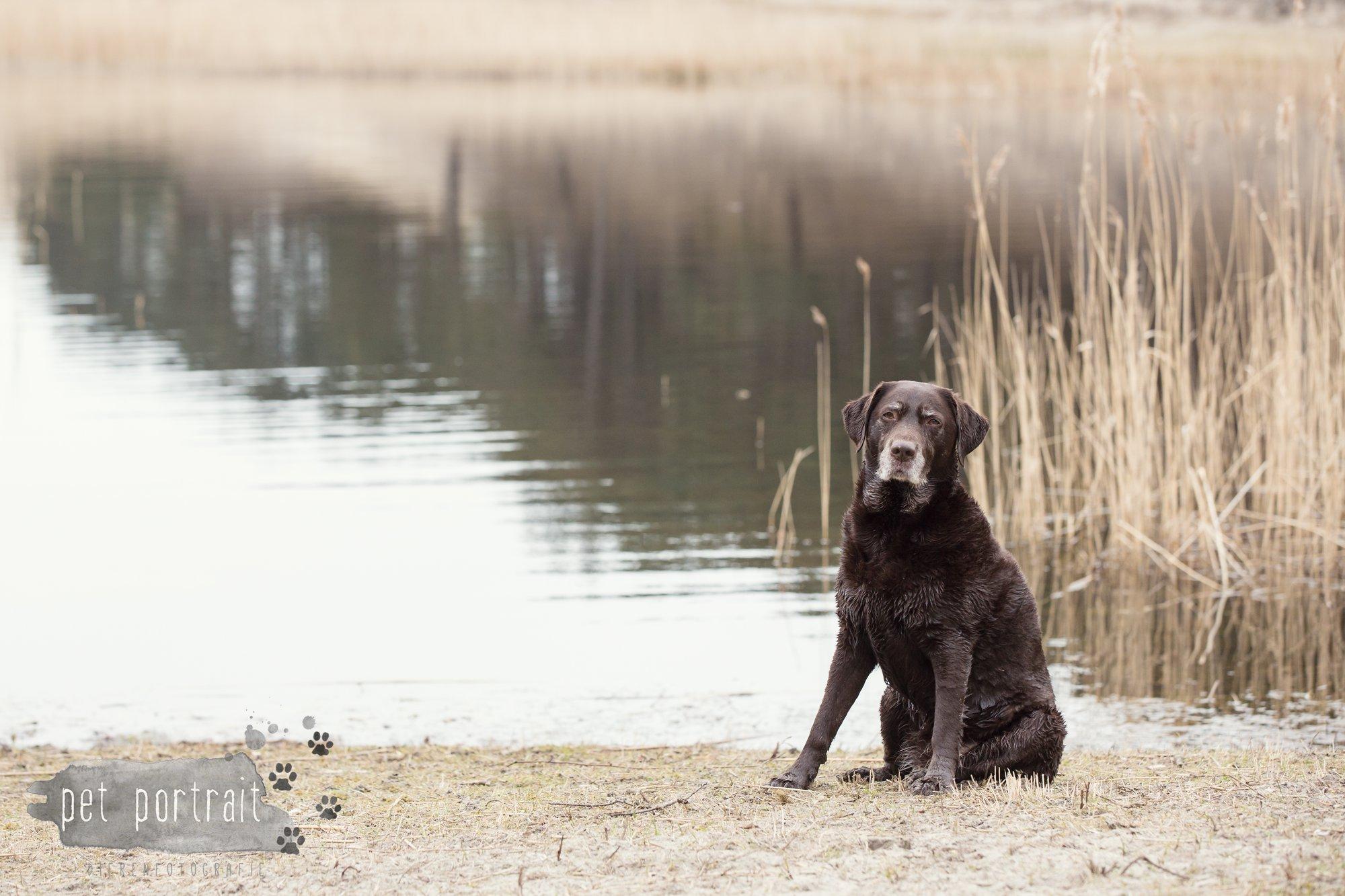 Hondenfotograaf Wassenaar - Labrador Apple-6
