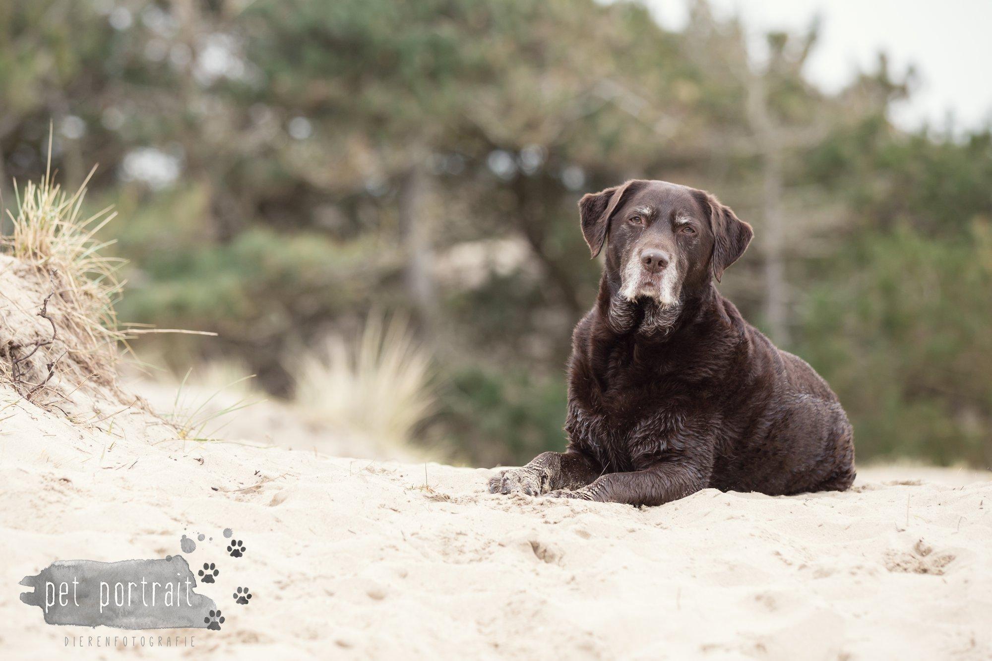Hondenfotograaf Wassenaar - Labrador Apple-7