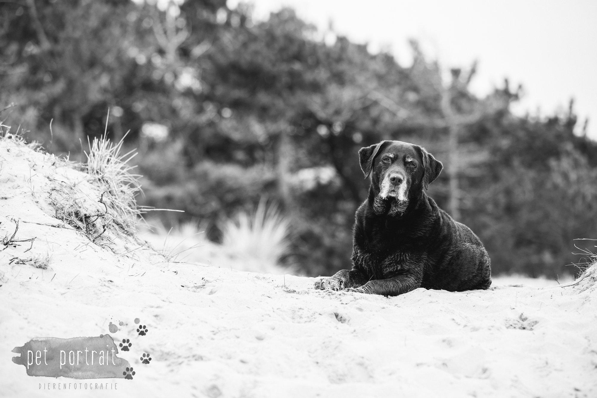 Hondenfotograaf Wassenaar - Labrador Apple-8