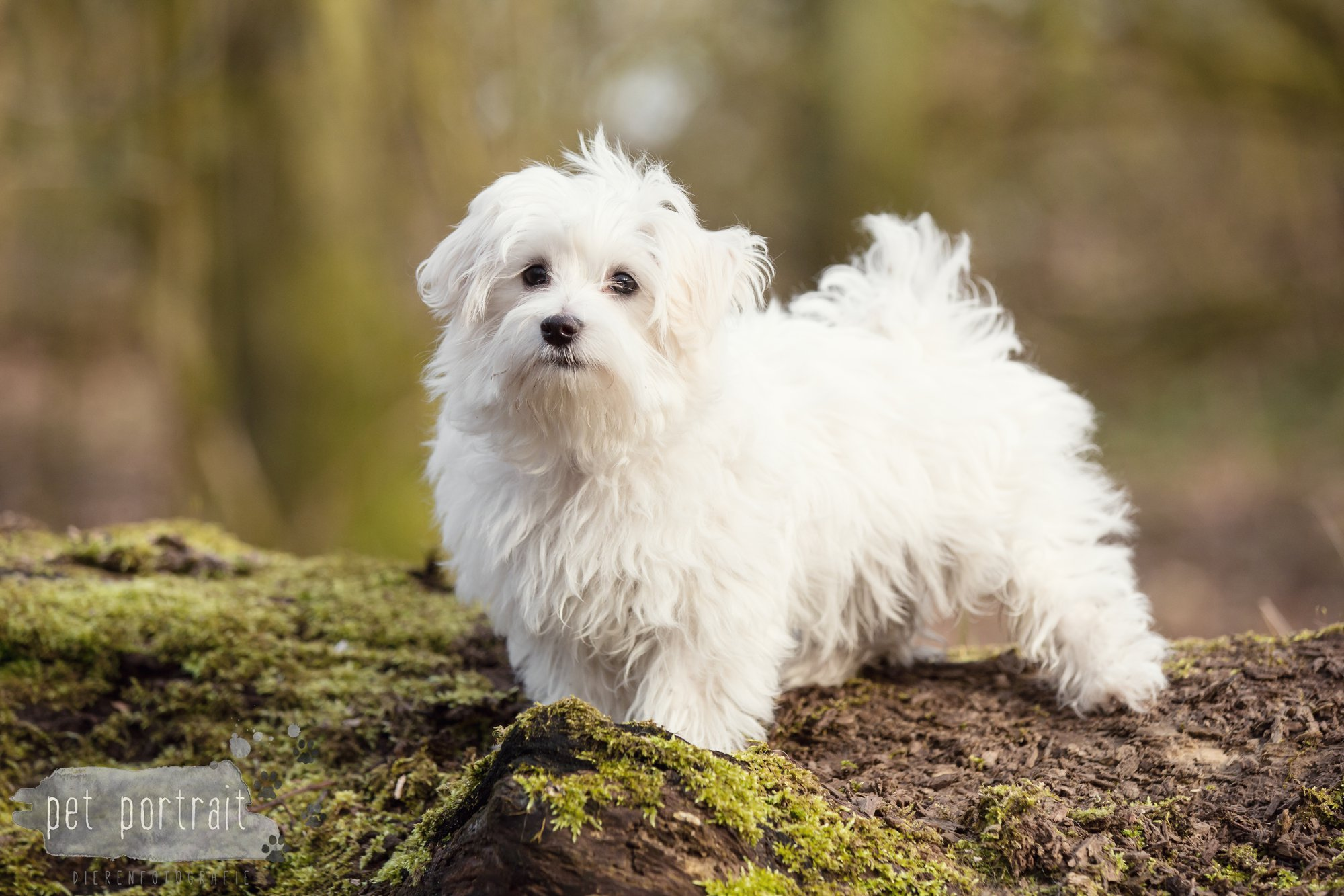 Hondenfotograaf Heemstede - Maltezer pup-1