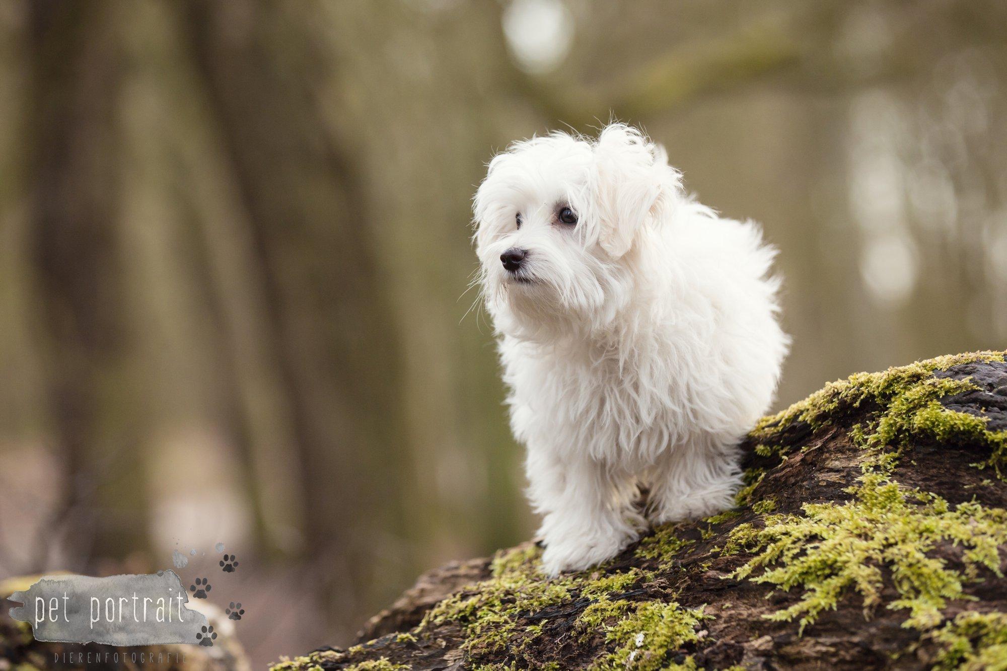 Hondenfotograaf Heemstede - Maltezer pup-10