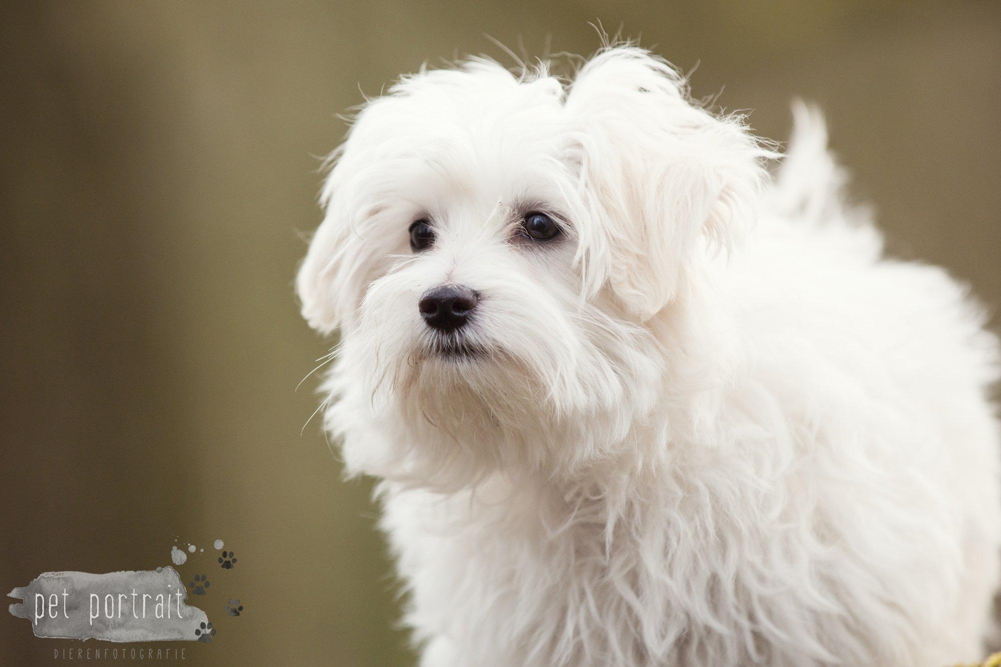 Hondenfotograaf Heemstede - Maltezer pup-11