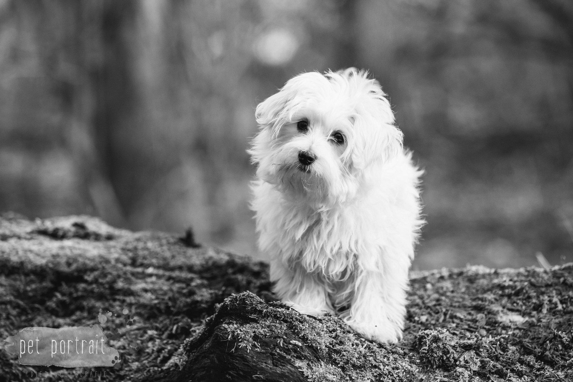 Hondenfotograaf Heemstede - Maltezer pup-2