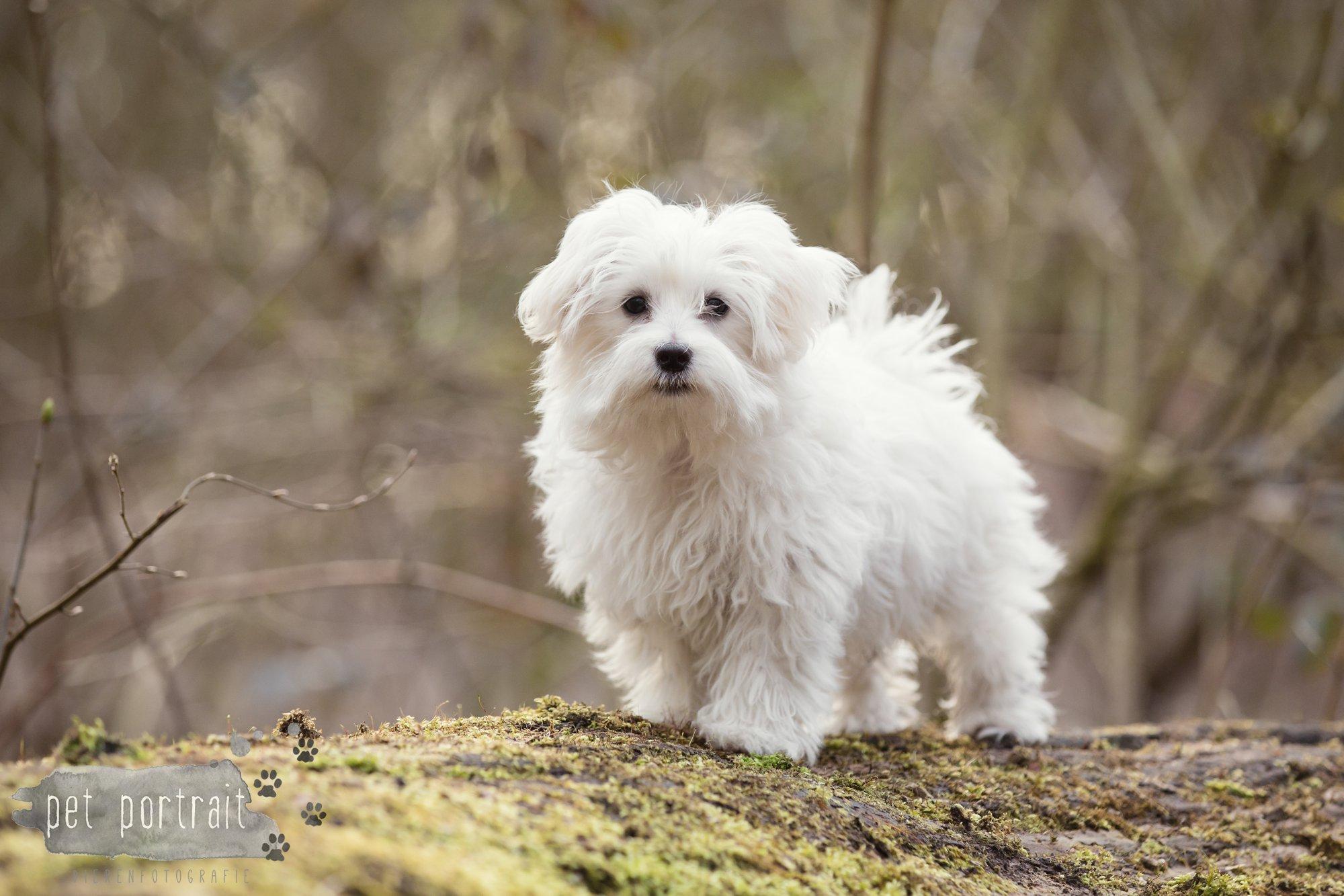 Hondenfotograaf Heemstede - Maltezer pup-4