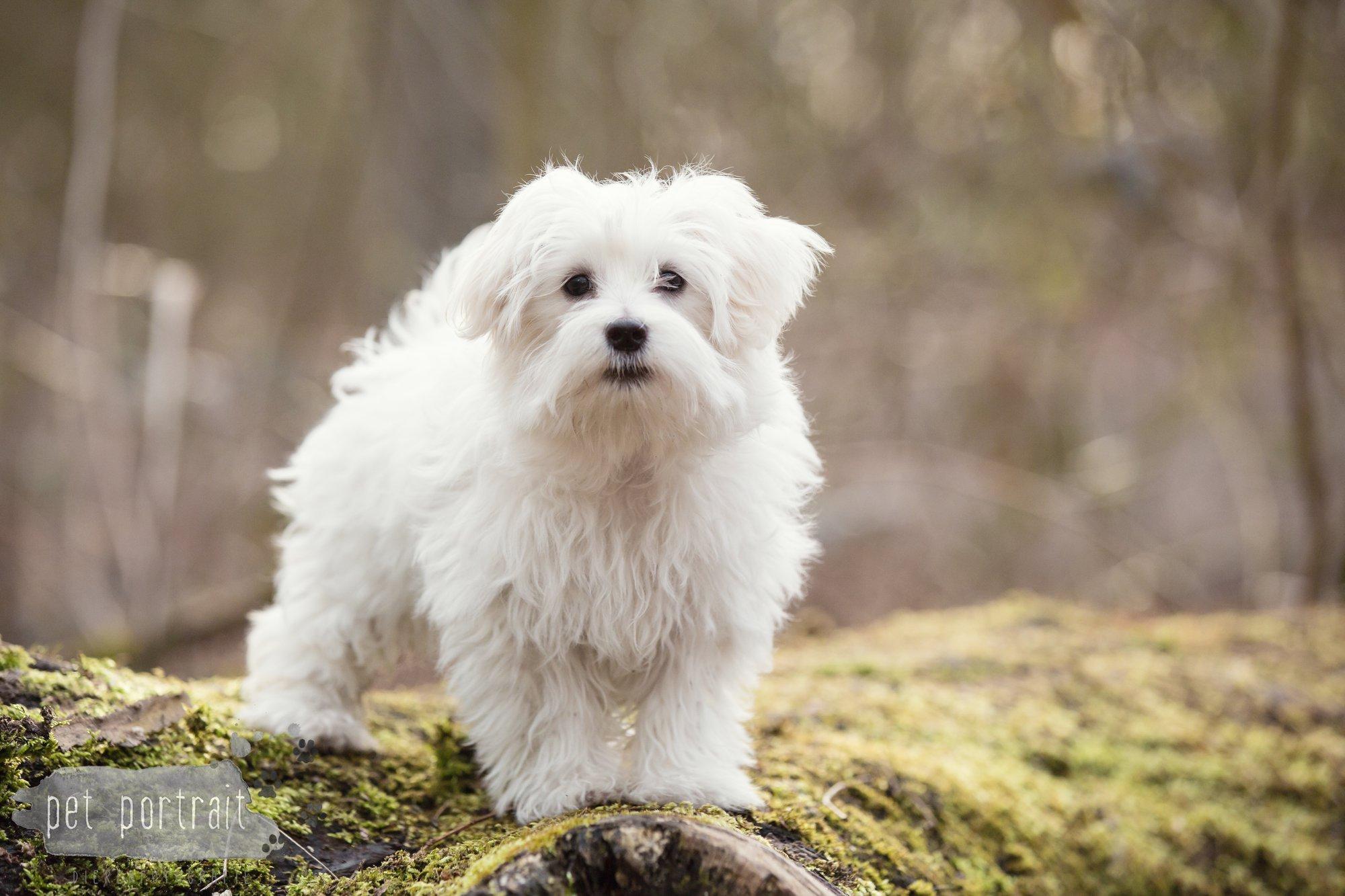 Hondenfotograaf Heemstede - Maltezer pup-5