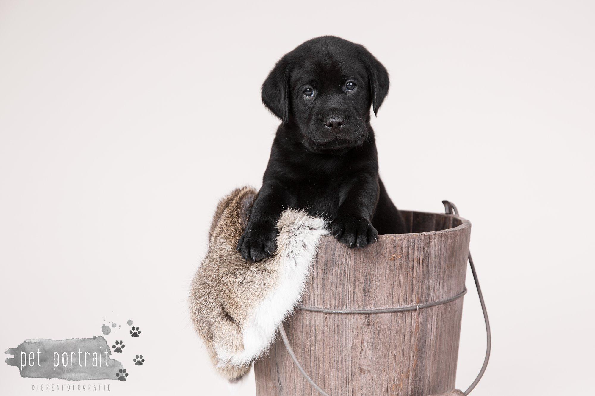 Hondenfotograaf Hillegom - Nestfotoshoot Labrador pups-10