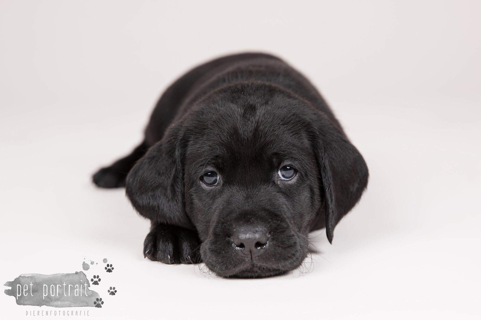 Hondenfotograaf Hillegom - Nestfotoshoot Labrador pups-12