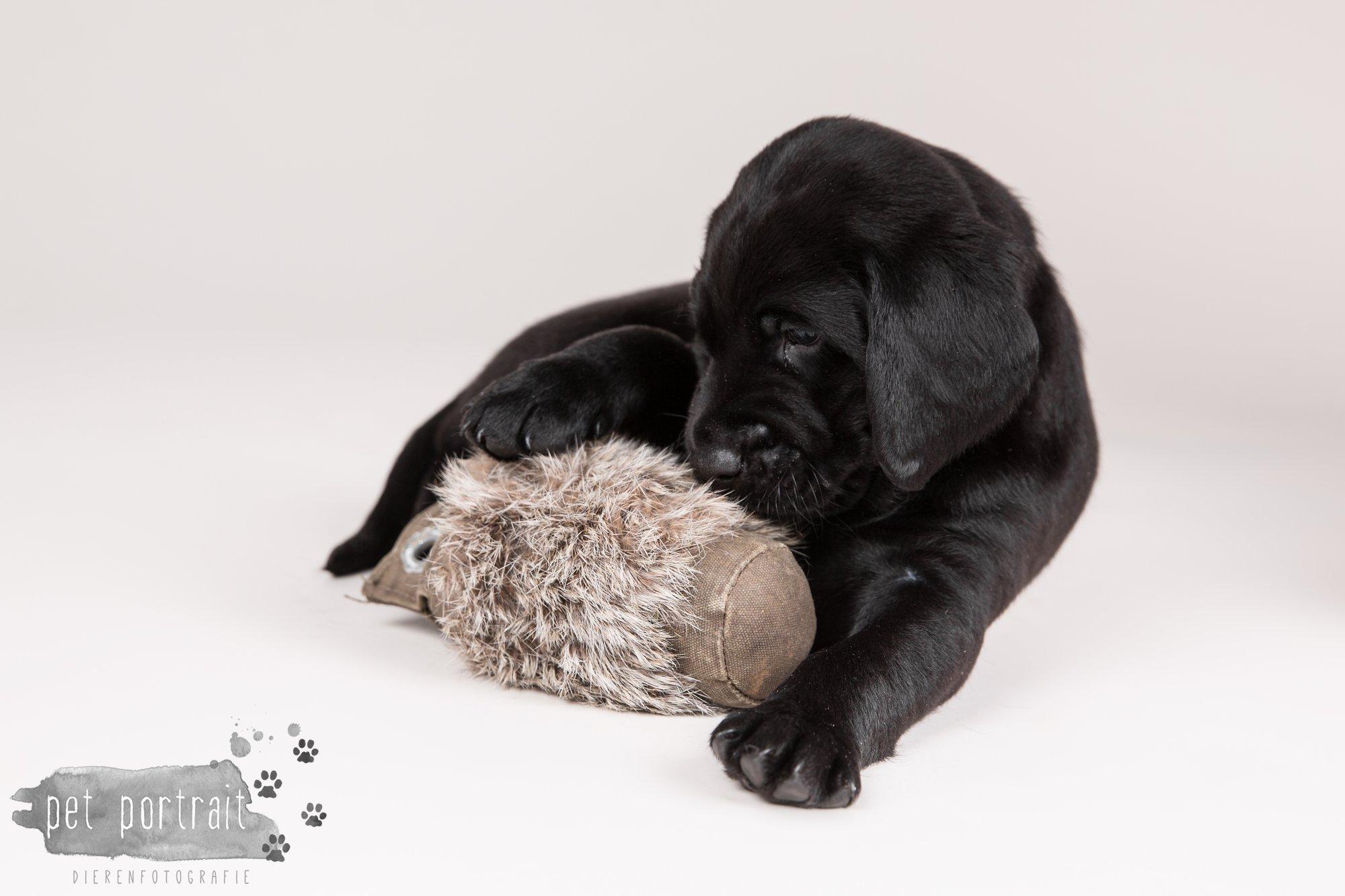 Hondenfotograaf Hillegom - Nestfotoshoot Labrador pups-13
