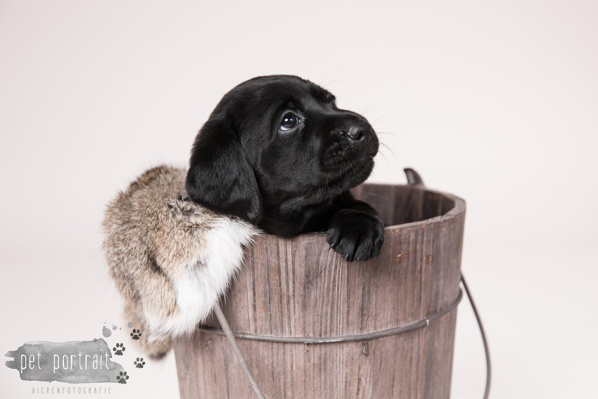 Hondenfotograaf Hillegom - Nestfotoshoot Labrador pups-14