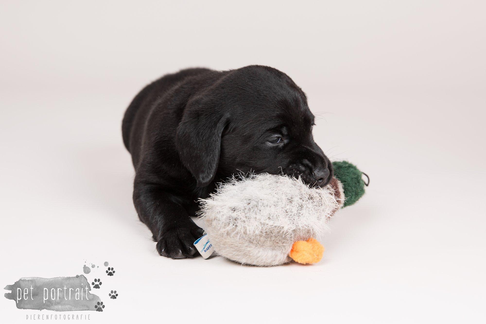 Hondenfotograaf Hillegom - Nestfotoshoot Labrador pups-15