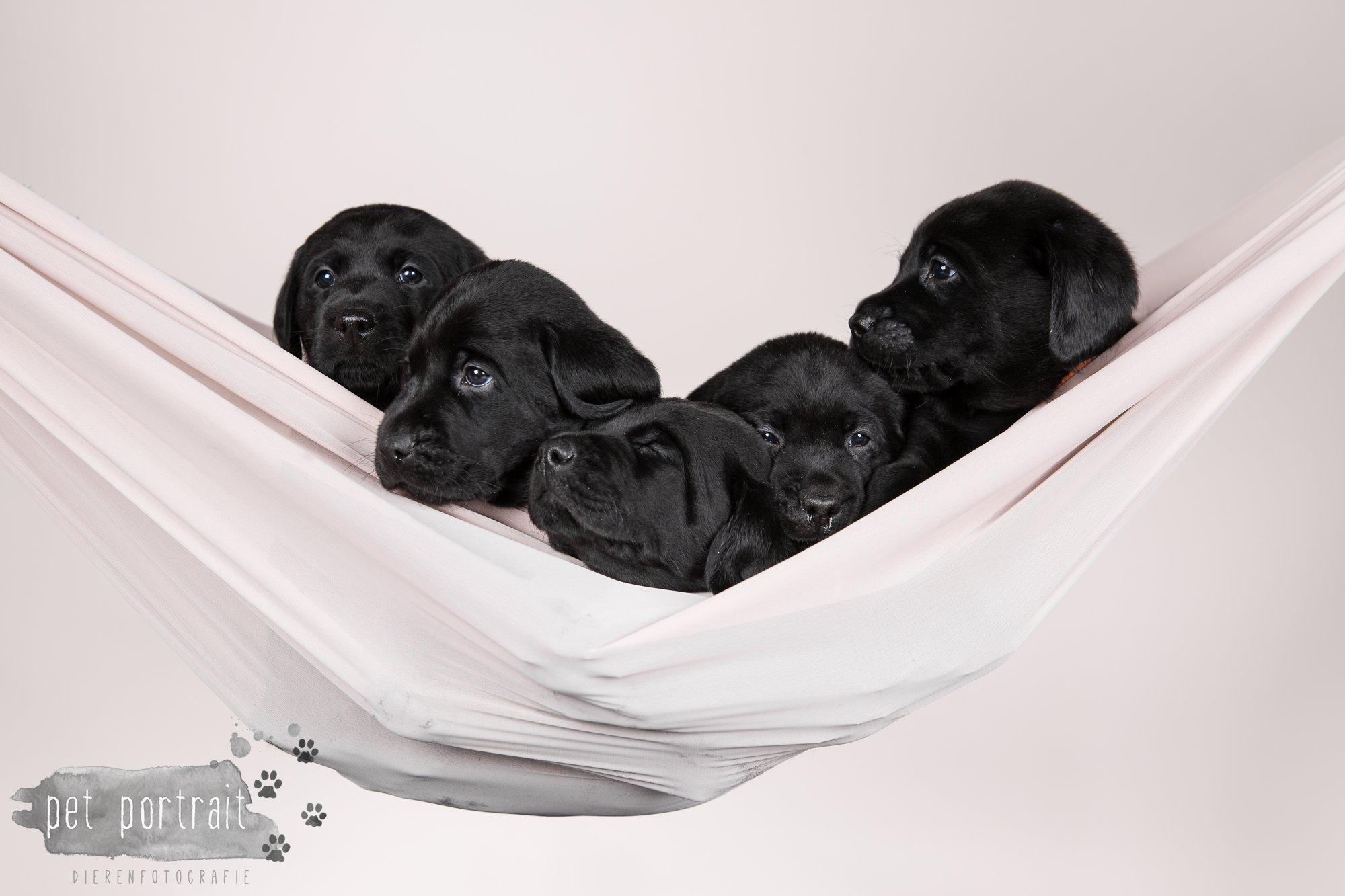 Hondenfotograaf Hillegom - Nestfotoshoot Labrador pups-17