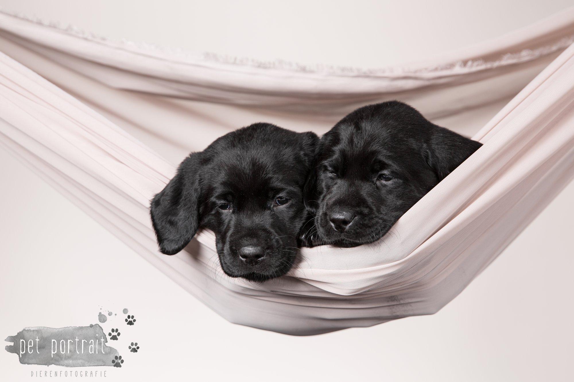 Hondenfotograaf Hillegom - Nestfotoshoot Labrador pups-19