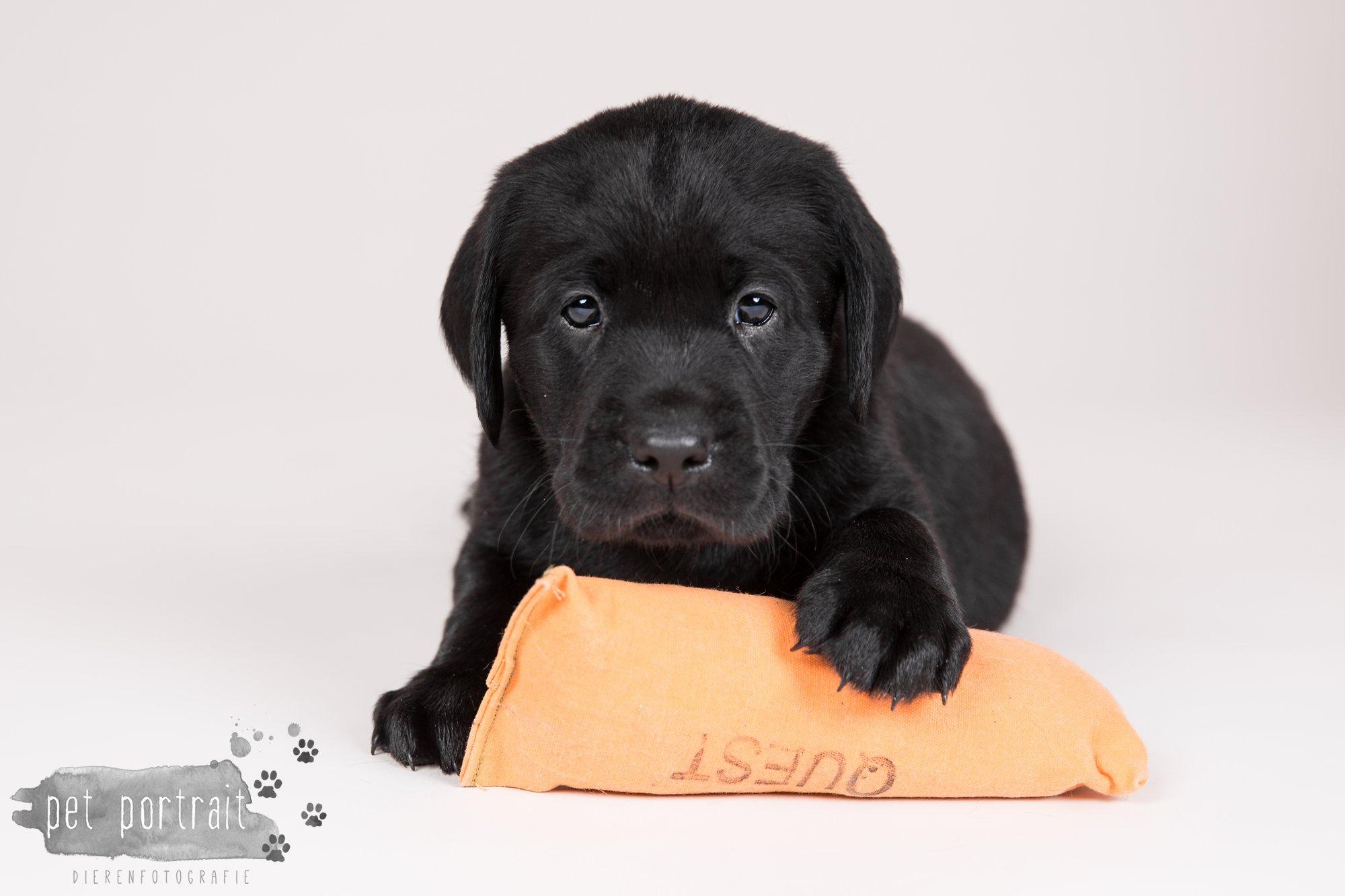 Hondenfotograaf Hillegom - Nestfotoshoot Labrador pups-2