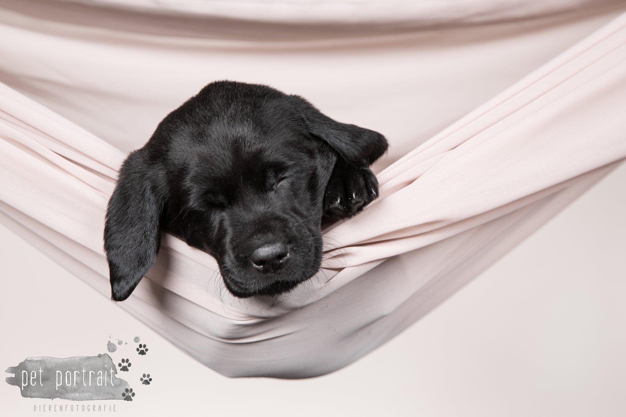 Hondenfotograaf Hillegom - Nestfotoshoot Labrador pups-20