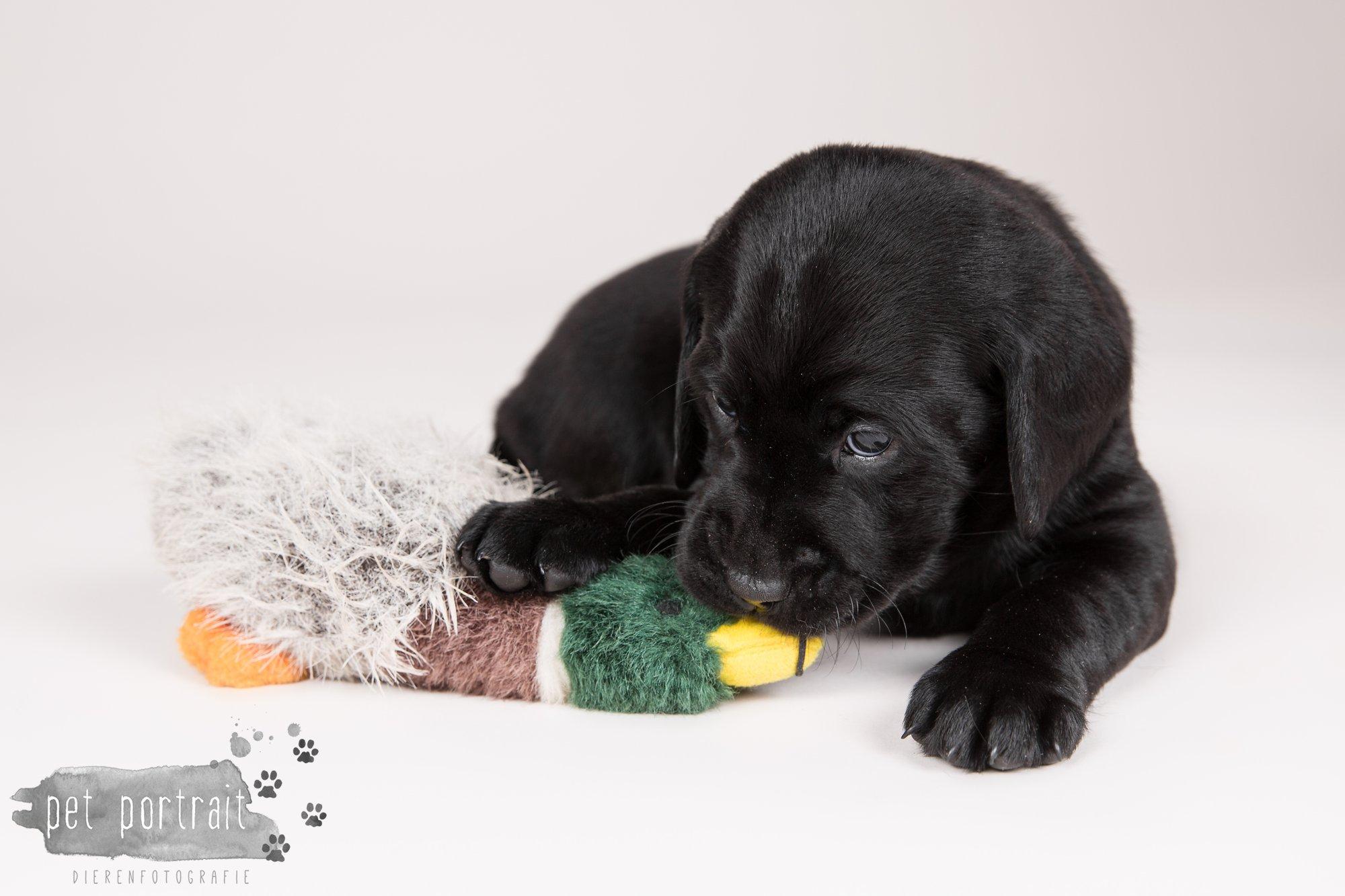 Hondenfotograaf Hillegom - Nestfotoshoot Labrador pups-4