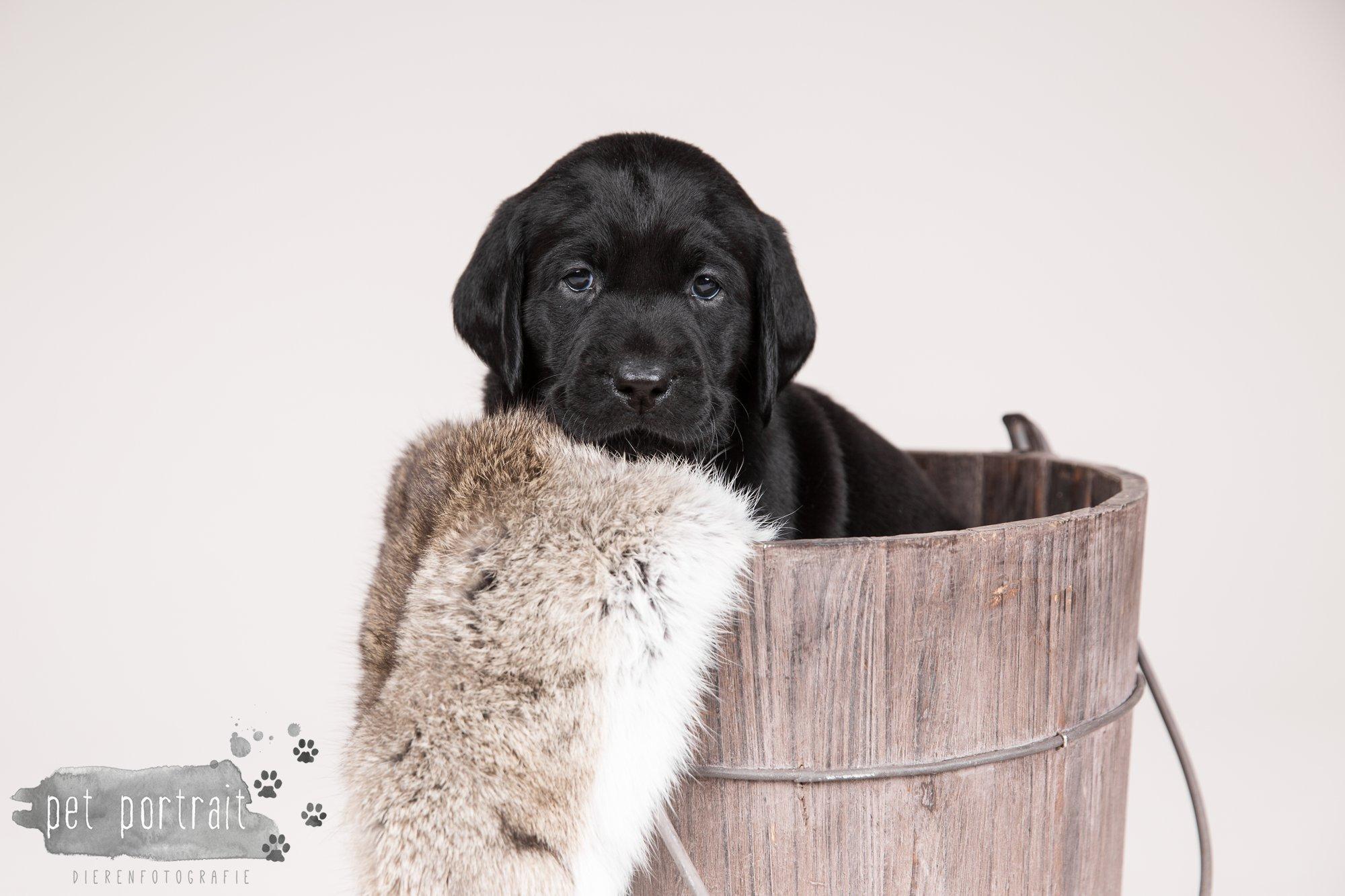 Hondenfotograaf Hillegom - Nestfotoshoot Labrador pups-5