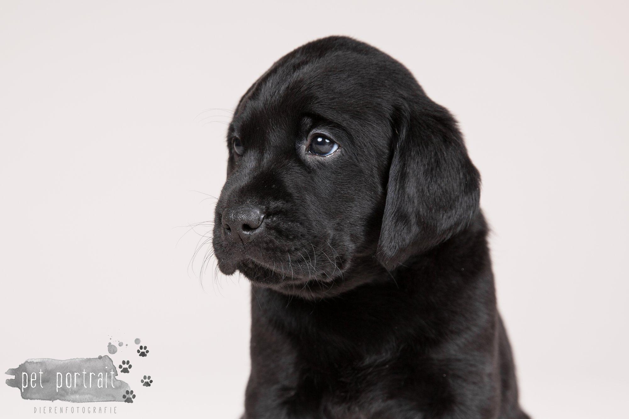 Hondenfotograaf Hillegom - Nestfotoshoot Labrador pups-6