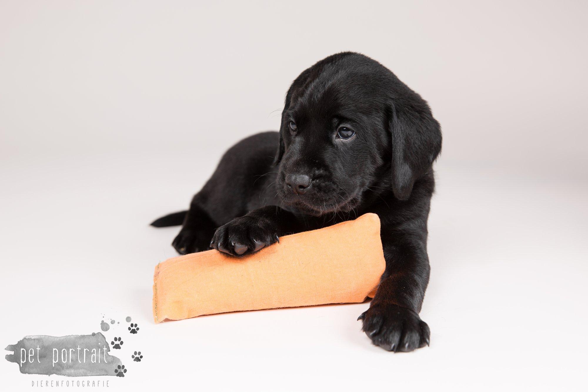 Hondenfotograaf Hillegom - Nestfotoshoot Labrador pups-7