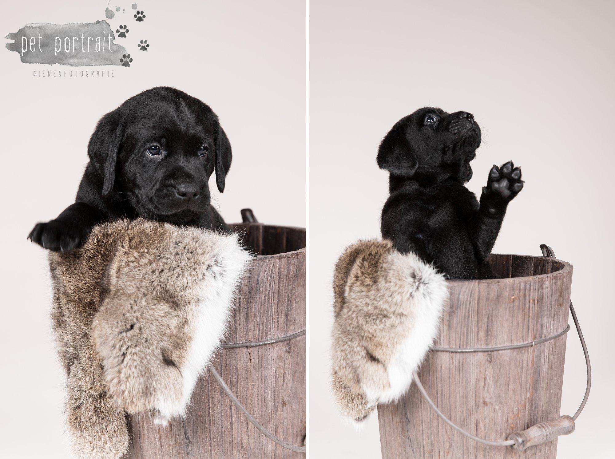Hondenfotograaf Hillegom - Nestfotoshoot Labrador pups-8