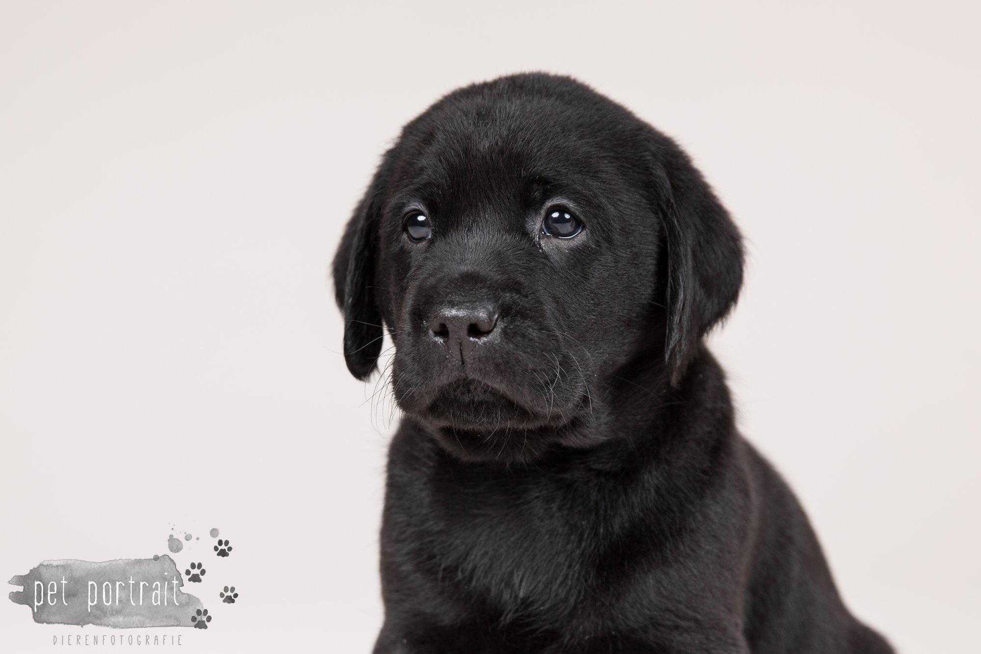 Hondenfotograaf Hillegom - Nestfotoshoot Labrador pups-9