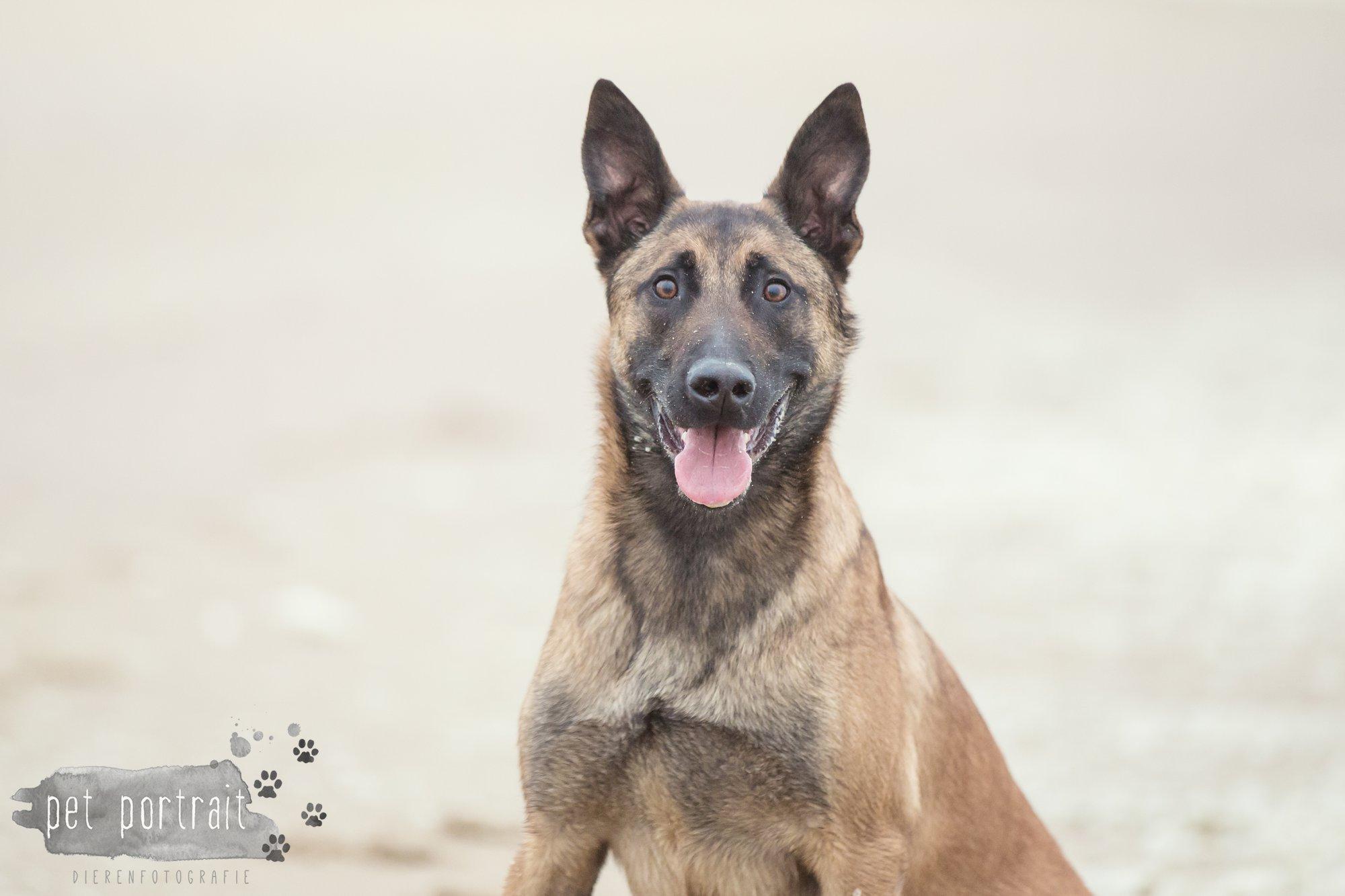 Hondenfotograaf Wassenaar - Mechelse Herder-10