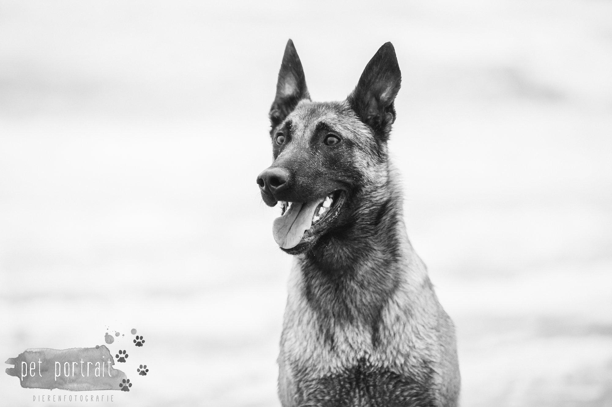 Hondenfotograaf Wassenaar - Mechelse Herder-12