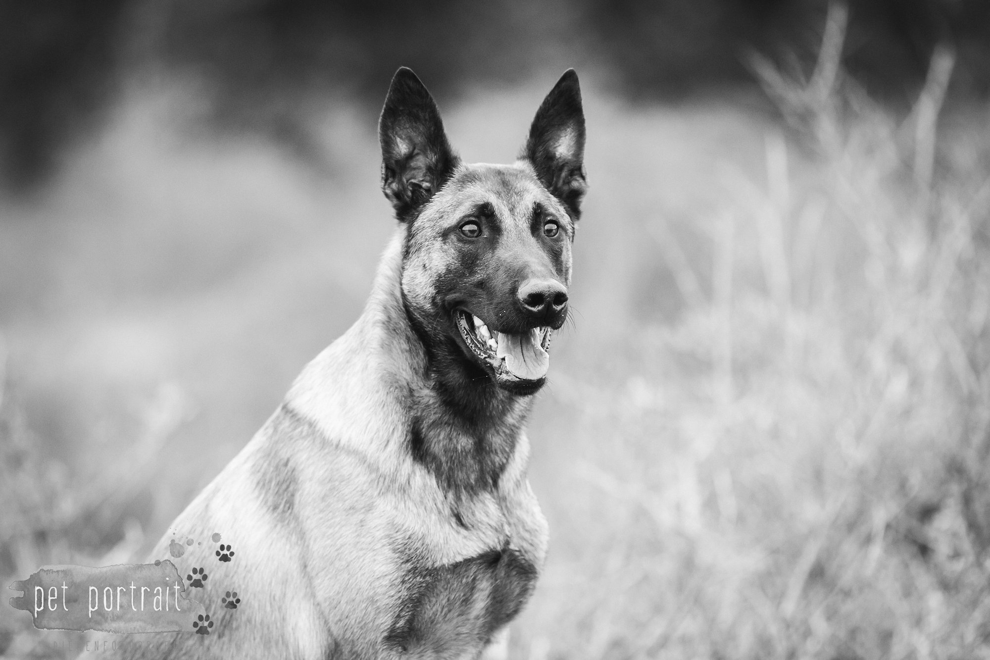 Hondenfotograaf Wassenaar - Mechelse Herder-3