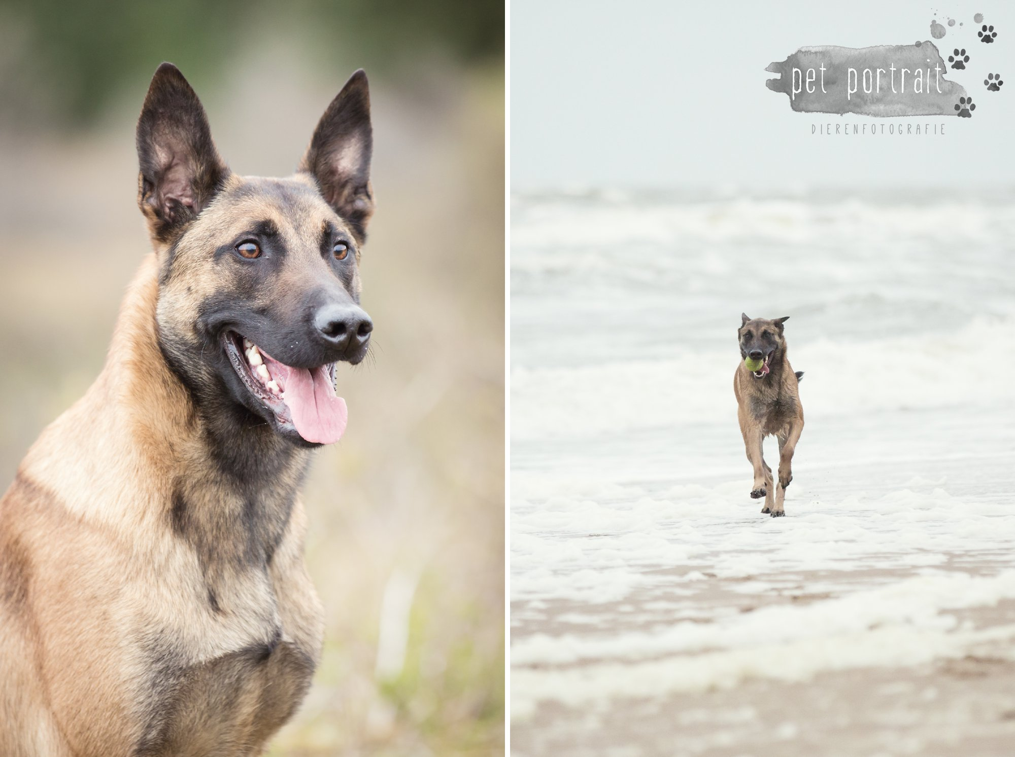 Hondenfotograaf Wassenaar - Mechelse Herder-4