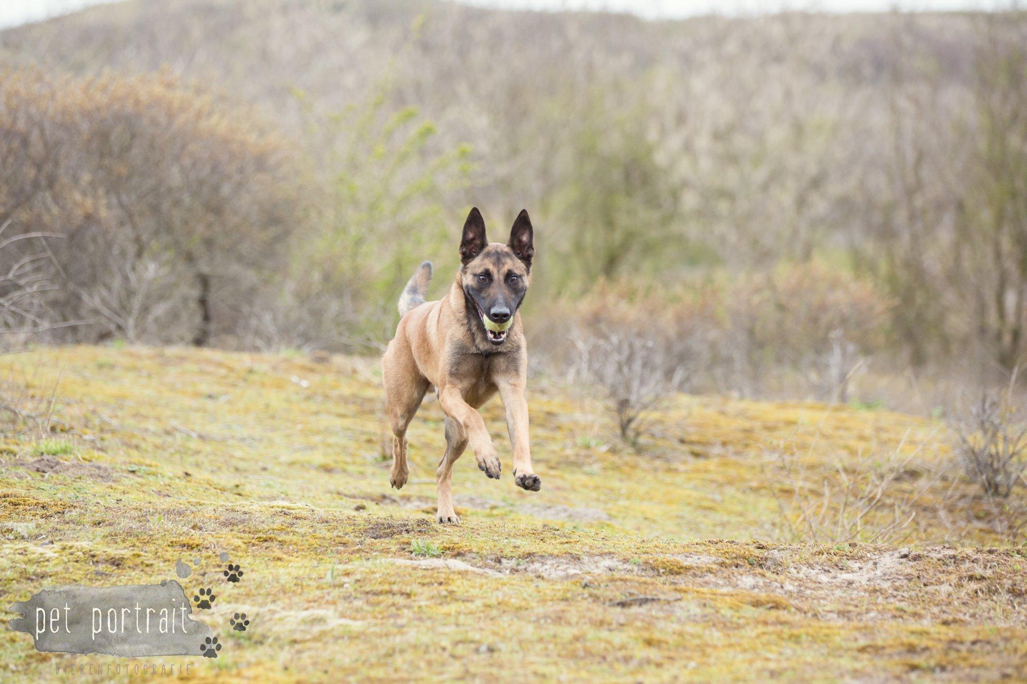 Hondenfotograaf Wassenaar - Mechelse Herder-5