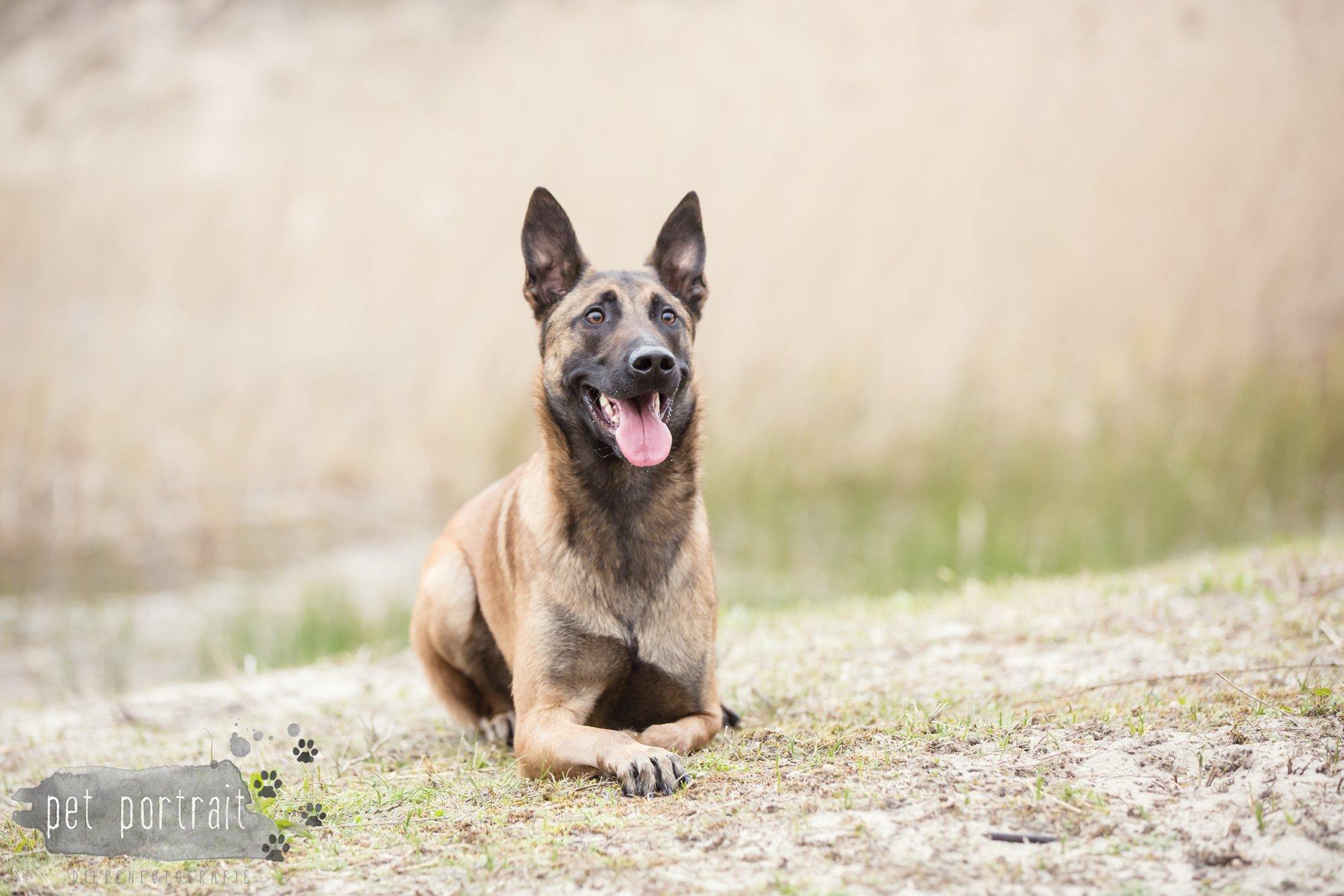 Hondenfotograaf Wassenaar - Mechelse Herder-6