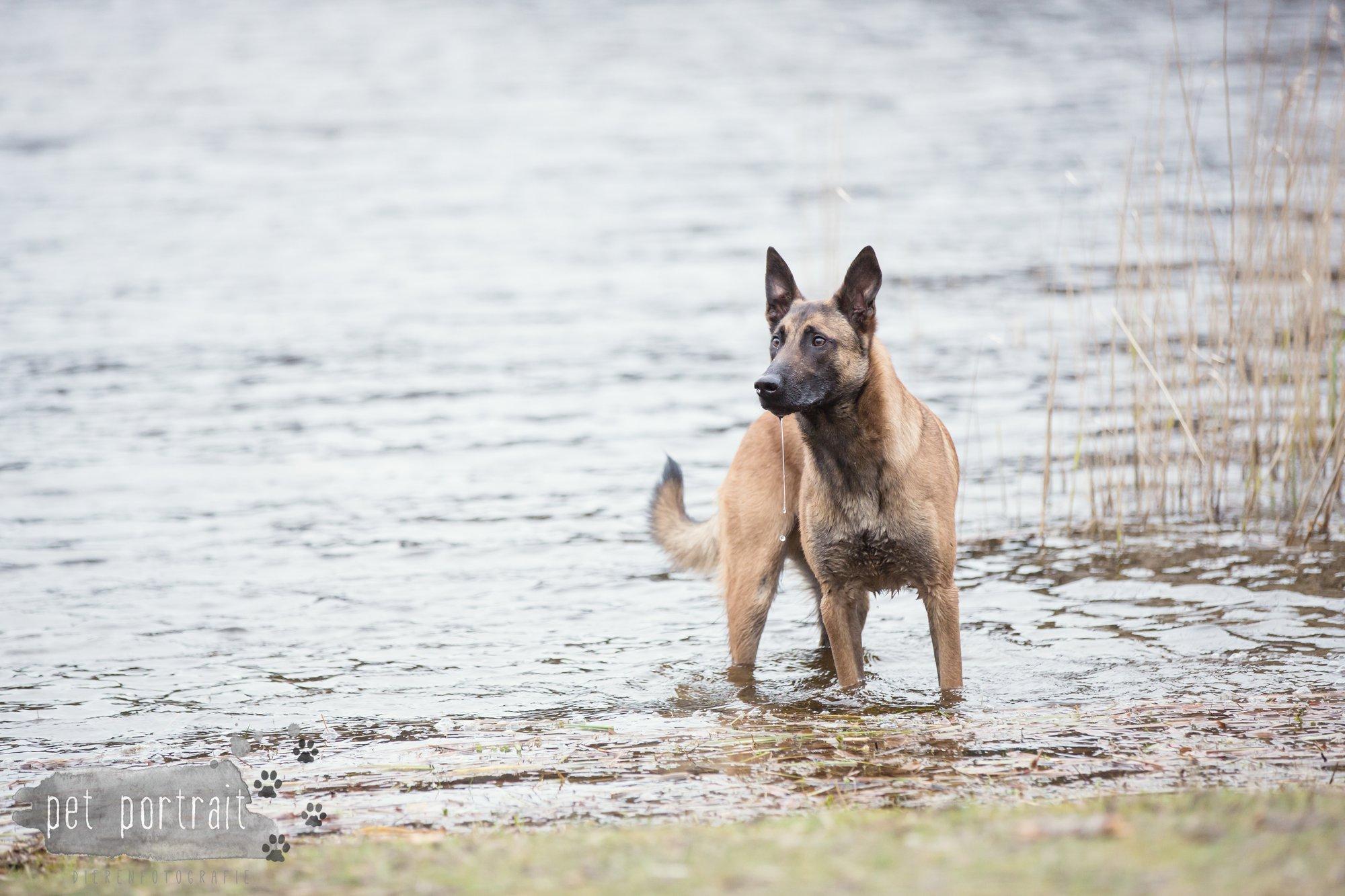 Hondenfotograaf Wassenaar - Mechelse Herder-7