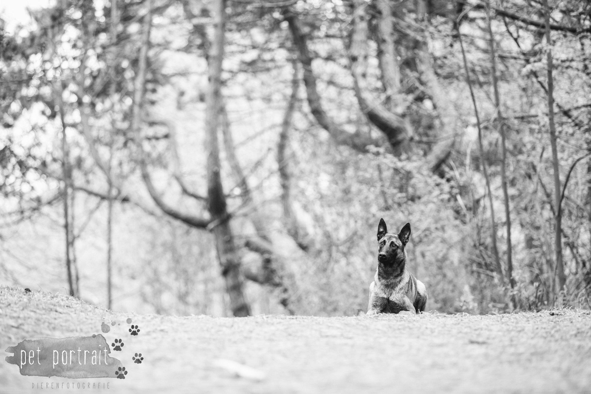 Hondenfotograaf Wassenaar - Mechelse Herder-8