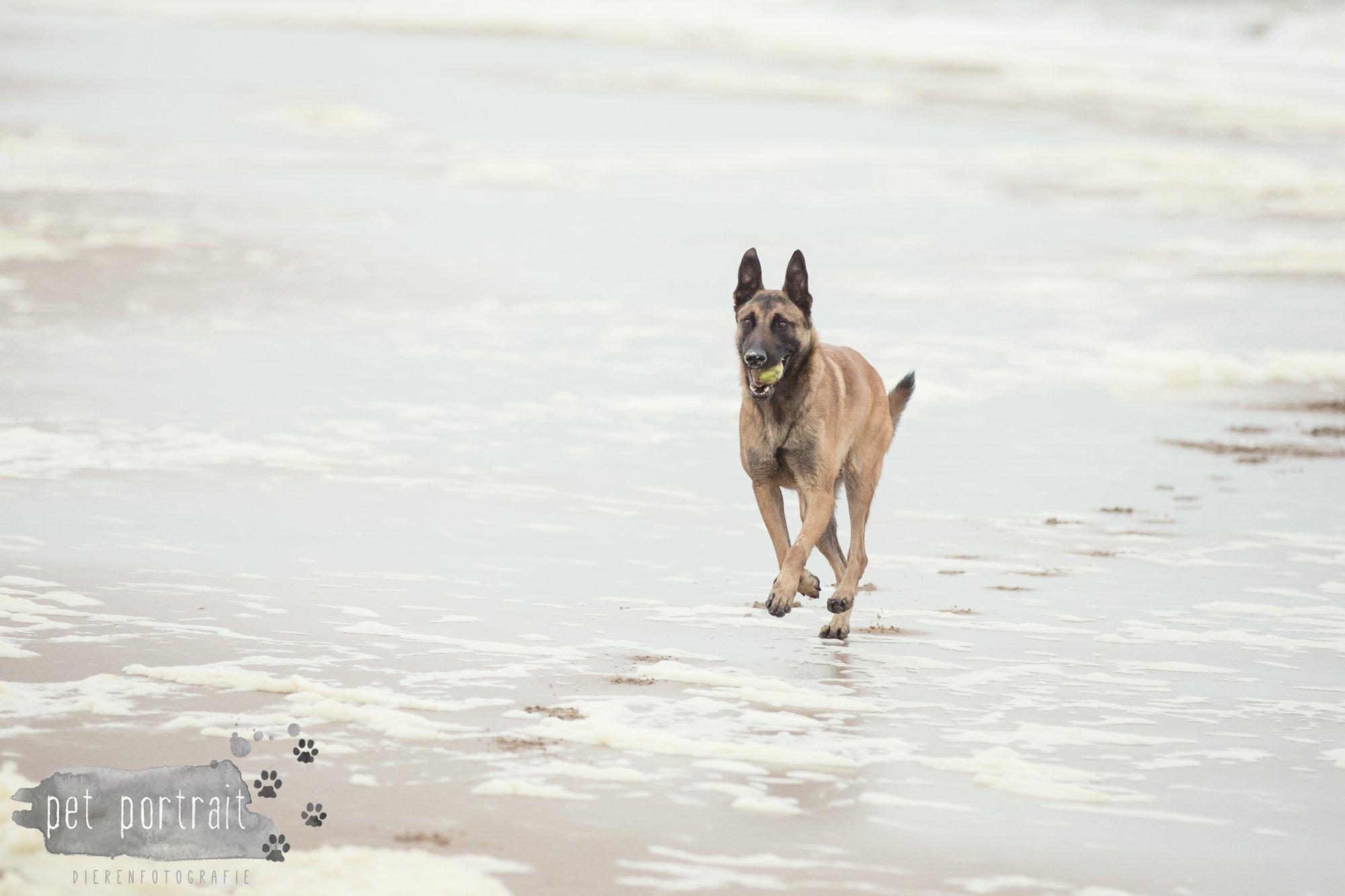 Hondenfotograaf Wassenaar - Mechelse Herder-9