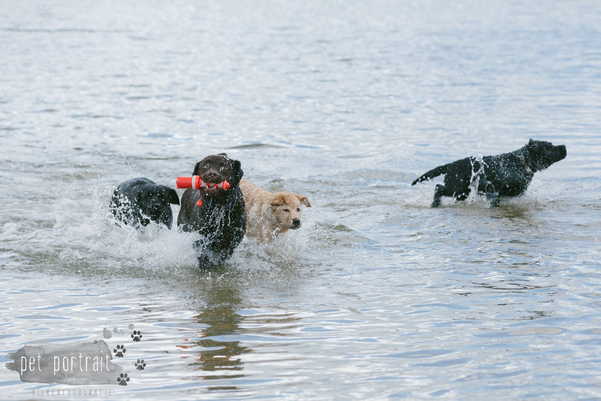 Hondenfotograaf Pet Portrait - Clubdag LKN - Waterpret met het nestje van Juno-21