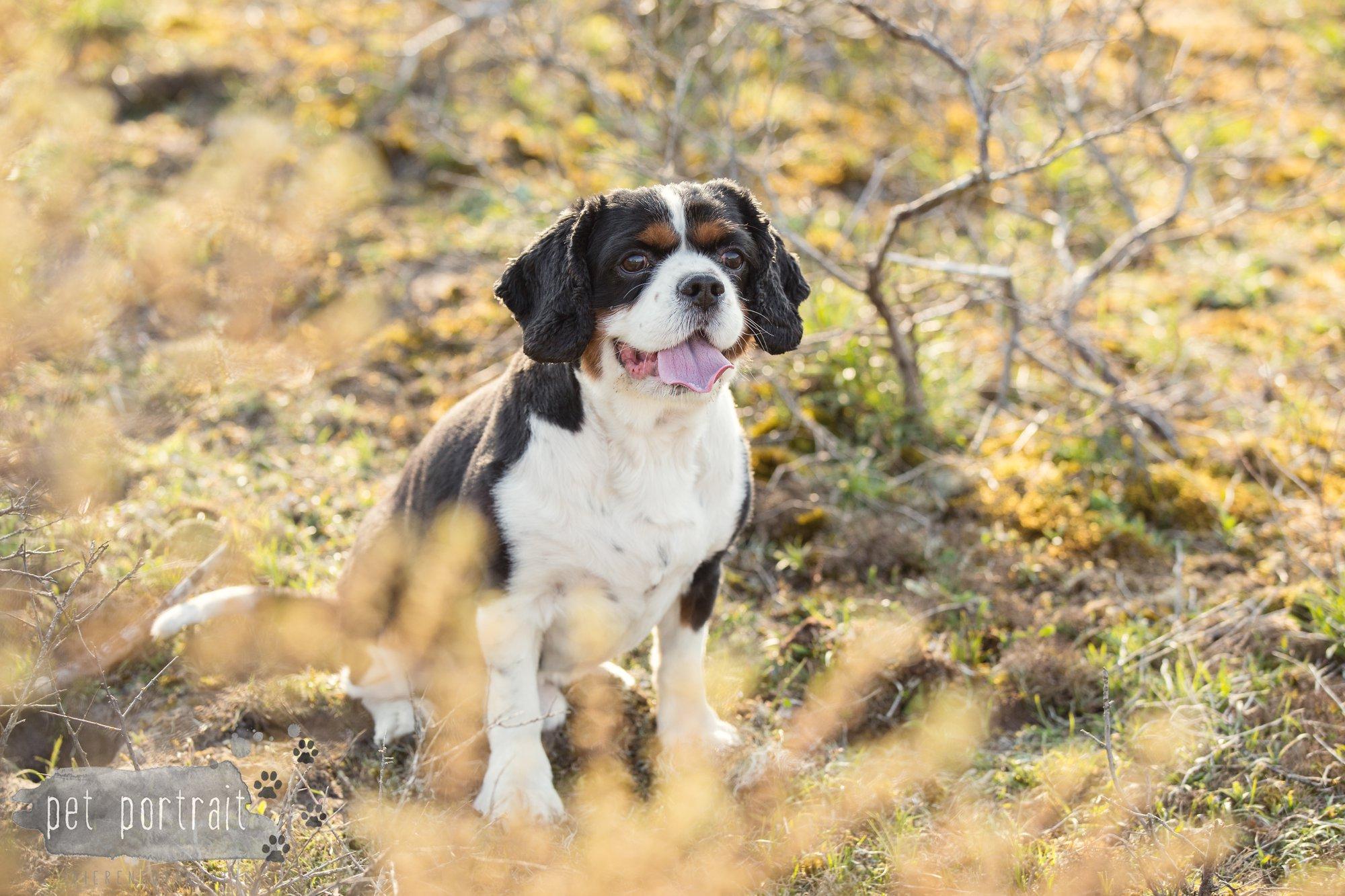 Hondenfotograaf Wassenaar - Cavalier King Charles Spaniel Pepper-10