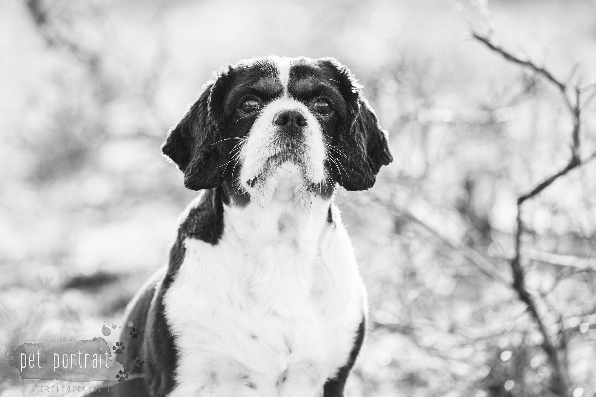 Hondenfotograaf Wassenaar - Cavalier King Charles Spaniel Pepper-11