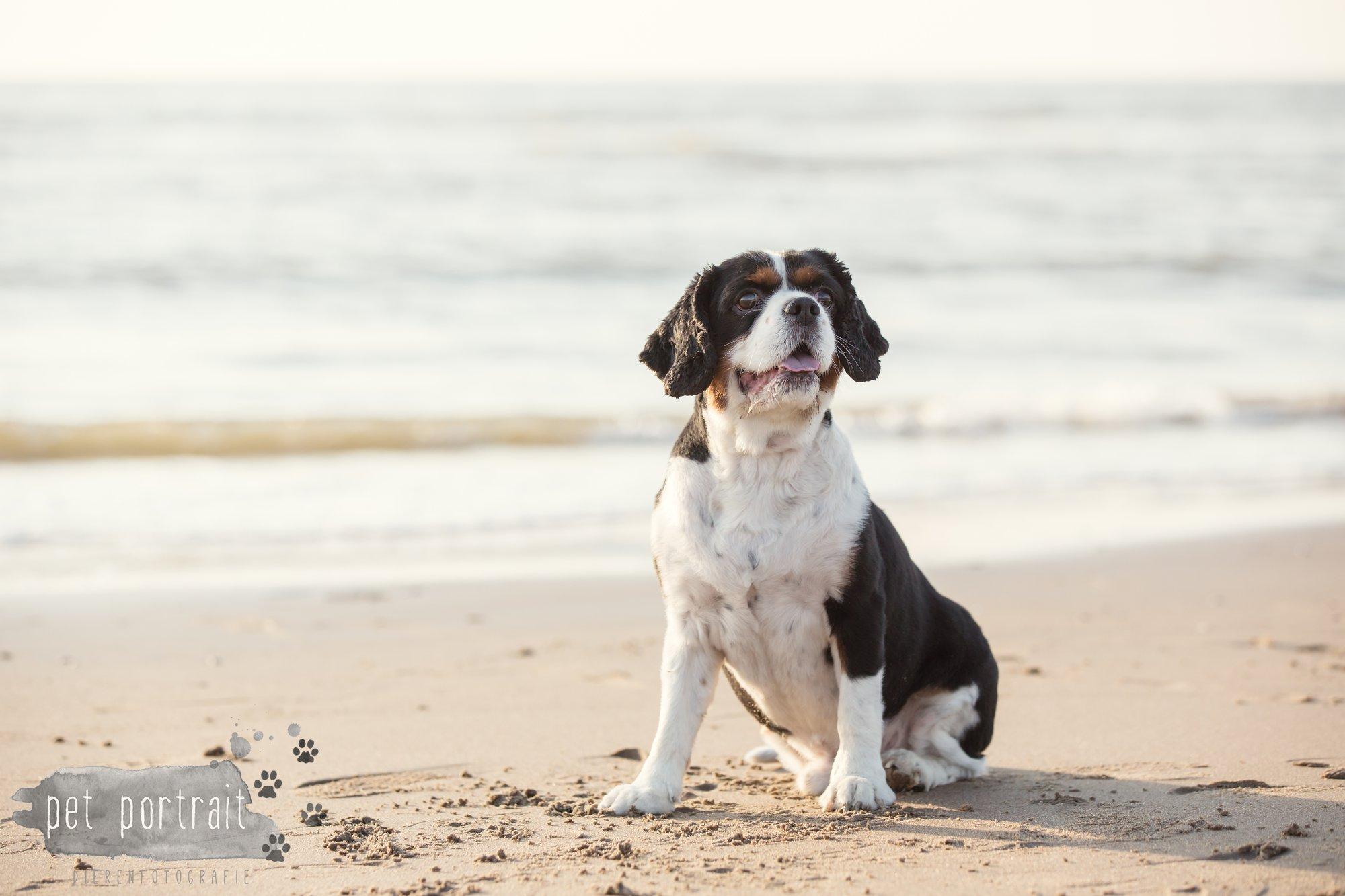 Hondenfotograaf Wassenaar - Cavalier King Charles Spaniel Pepper-13