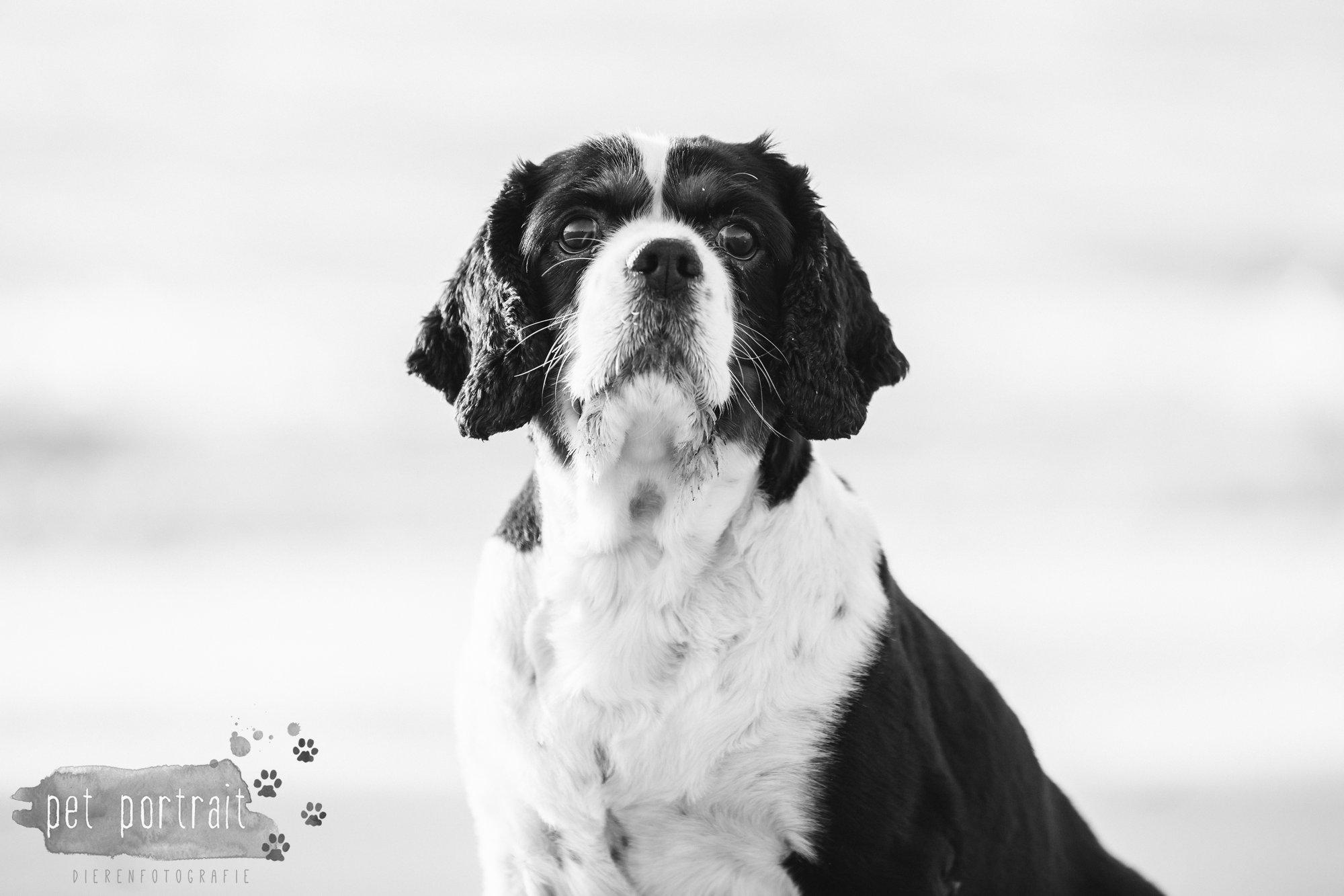 Hondenfotograaf Wassenaar - Cavalier King Charles Spaniel Pepper-14