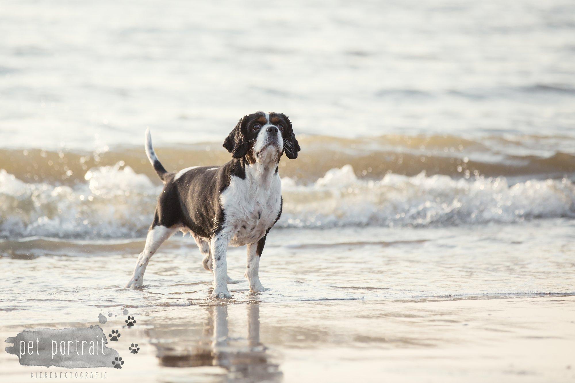 Hondenfotograaf Wassenaar - Cavalier King Charles Spaniel Pepper-15