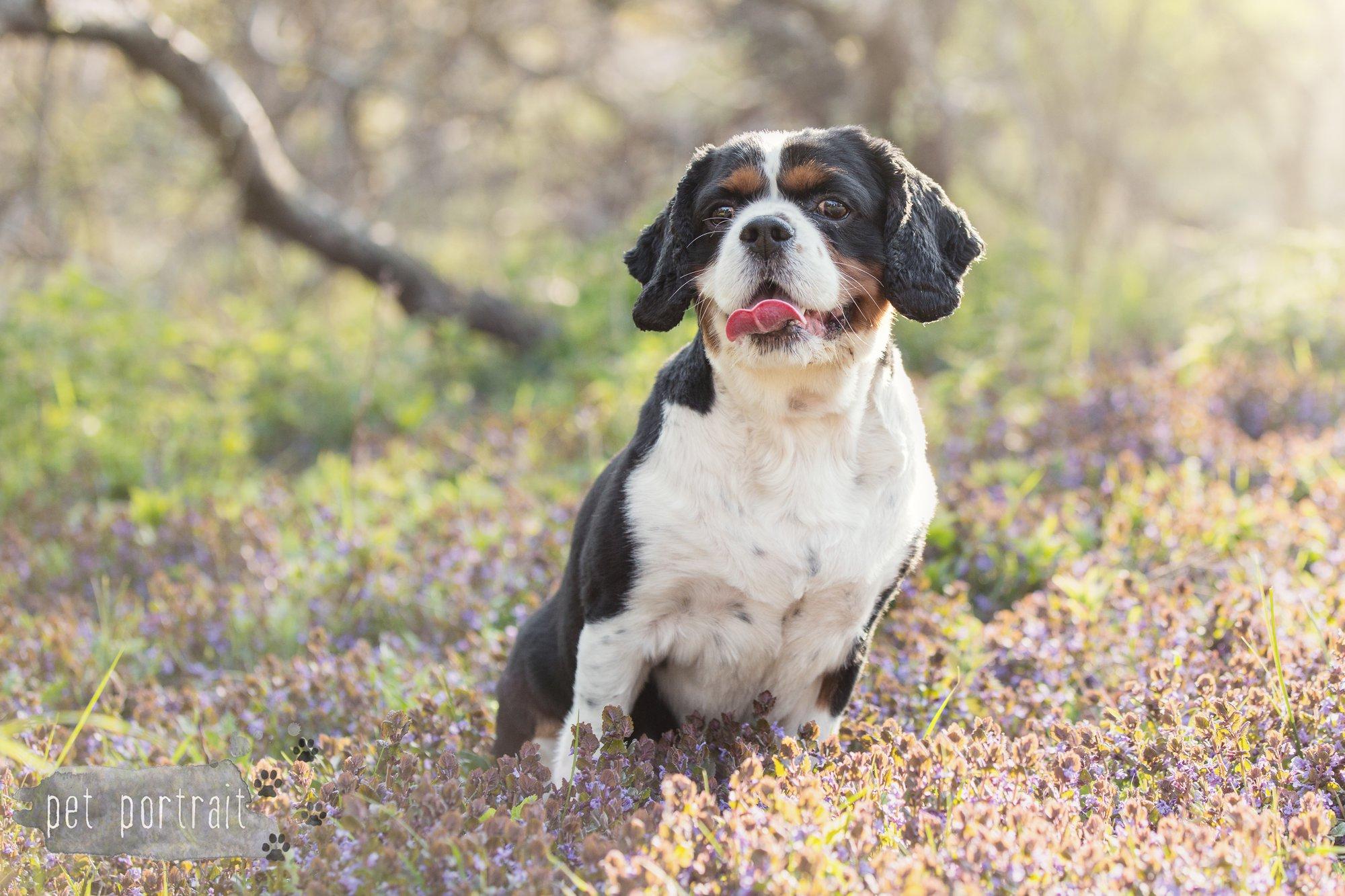 Hondenfotograaf Wassenaar - Cavalier King Charles Spaniel Pepper-2